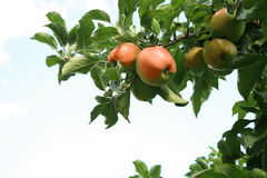 Apple tree. Royalty Free Stock Image