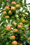 Apple tree. A red and green apple on a branch. The apple is growing in a Polish orchard Stock Photos