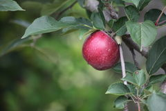 Apple Tree. Lone red apple on a tree branch Stock Image