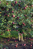 Apple tree. Picture of an apple tree filled with red apples Stock Photo