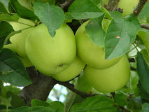 Apple tree. Green apples on a tree royalty free stock photos