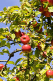 Apple tree. In autumn - fall fruit Stock Photography