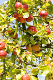 Apple tree. In autumn - fall fruit Stock Images