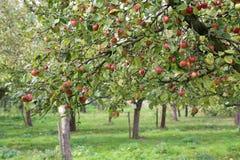 Apple_tree Fotografia de Stock Royalty Free