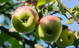 An apple on a tree royalty free stock photo