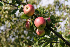 Apple Tree. View in Northumberland royalty free stock photo