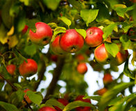 Apple tree. With red apples Royalty Free Stock Image
