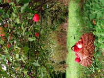 Apple tree. Harvest of the orchard, basket full of red apples under apple tree stock photos