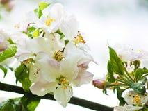 Apple tree Royalty Free Stock Photography