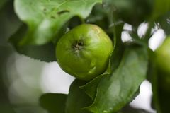 Apple on a tree Stock Photography