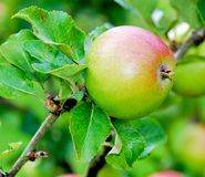 Apple tree. Detail of an apple tree with focus on some solitary apples Stock Photo