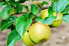 Apple tree. Detail of an apple tree with focus on some solitary apples Royalty Free Stock Photography