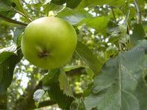 Apple tree. In the garden royalty free stock photos