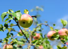 Apple on a tree Stock Image