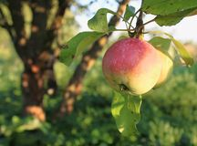 Apple on a tree stock images