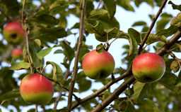 Apple on the tree Stock Image