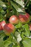 Apple tree Stock Photography