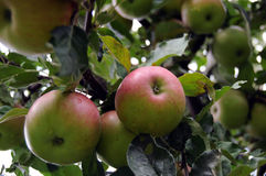 Apple tree. With red green apples on an autumn day Stock Photos