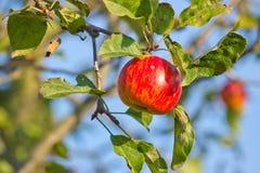 Apple on tree Royalty Free Stock Photo