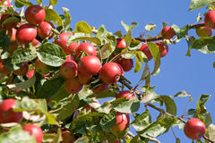 Apple tree. A bough of an apple tree royalty free stock photography