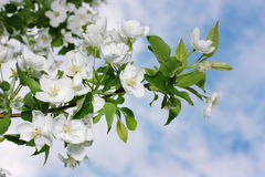 Apple tree. Flowering aple tree on background cloudy sky Royalty Free Stock Photography
