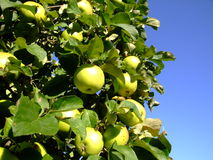 Apple tree. The image shows some green apples on a tree Royalty Free Stock Images