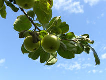 Apple Tree. Branch of Apple Tree bearing Fruit royalty free stock image