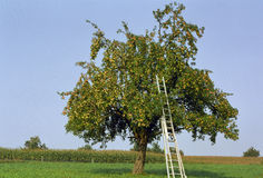 Apple tree Stock Image