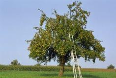 Free Apple Tree Stock Image - 18171961