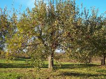 Apple Tree 2 Stock Photos