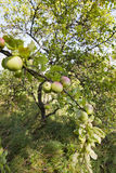 Apple tree Stock Photo