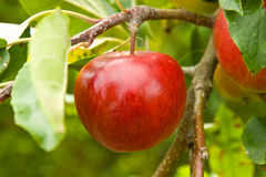 Apple on Tree. An apple (Srumptious variety) growing on tree Stock Image