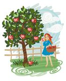 Apple tree. Pretty girl picking apples in the garden Stock Image