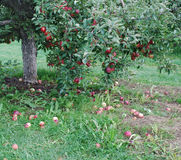Apple tree Royalty Free Stock Images