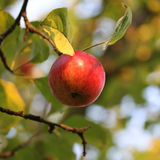 Apple on the tree Royalty Free Stock Photos