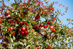 Apple Tree Stock Images