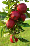 Apple Tree. Michigan Apples on the Tree in the Fall Royalty Free Stock Photography