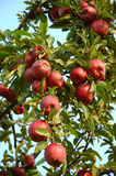 Apple Tree. Michigan Apples on the Tree in Fall royalty free stock images