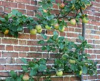 Apple Tree. Stock Photo