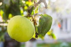 Apple on tree Royalty Free Stock Photo