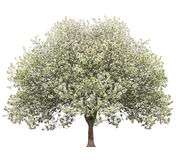 Apple tree. In spring isolated on white Stock Photography