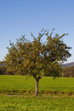 Apple tree. Fruit yielding apple tree in fall - outdoor shot Royalty Free Stock Photography