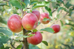 Apple tree. With red apples stock image