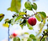 Apple tree arkivfoton