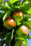 Apple Tree. Several apples hanging on the tree Royalty Free Stock Photos