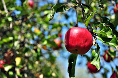 Apple in a tree Royalty Free Stock Photography