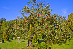 Apple tree Royalty Free Stock Photo