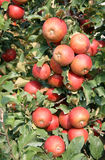 Apple tree Royaltyfri Foto