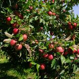 Apple on tree Royalty Free Stock Images