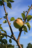 Apple tree. Fresh healthy apple on the tree (close-up background Stock Images